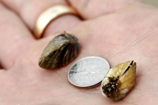 Los mejillones cebra adultos llegan a medir hasta una pulgada y media de largo, pero sus larvas son tan pequeñas que no pueden ser vistas a simple vista.
