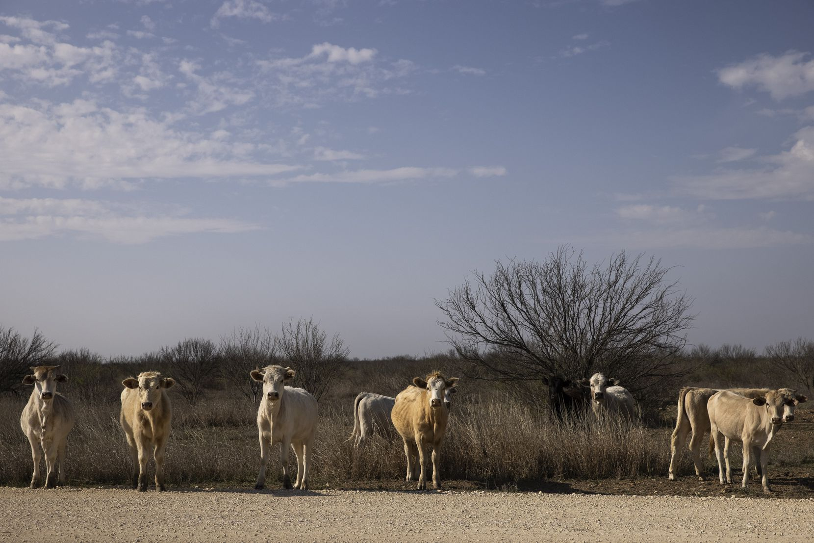 Cattle are a big part of the Briscoe Ranch legacy.