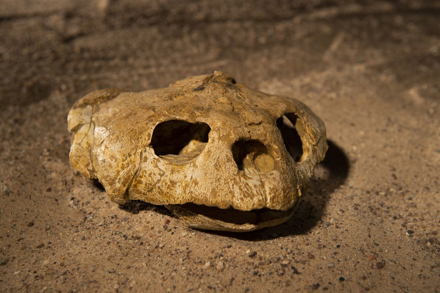 A fossil of a Euclastes sea turtle skull excavated from Angola's costal cliffs.  Unlike mosasaurs and plesiosaurs, sea turtles still swim in the ocean today. However, this ancient 72-million-year-old giant was not the same species as modern sea turtles. Sea turtles survived the end-Cretaceous mass extinction 66 million years ago thanks to their ability to live under the stressful conditions of a global extinction event with little food and oxygen. But today, human activities threaten six of the world'€™s seven sea turtle species.