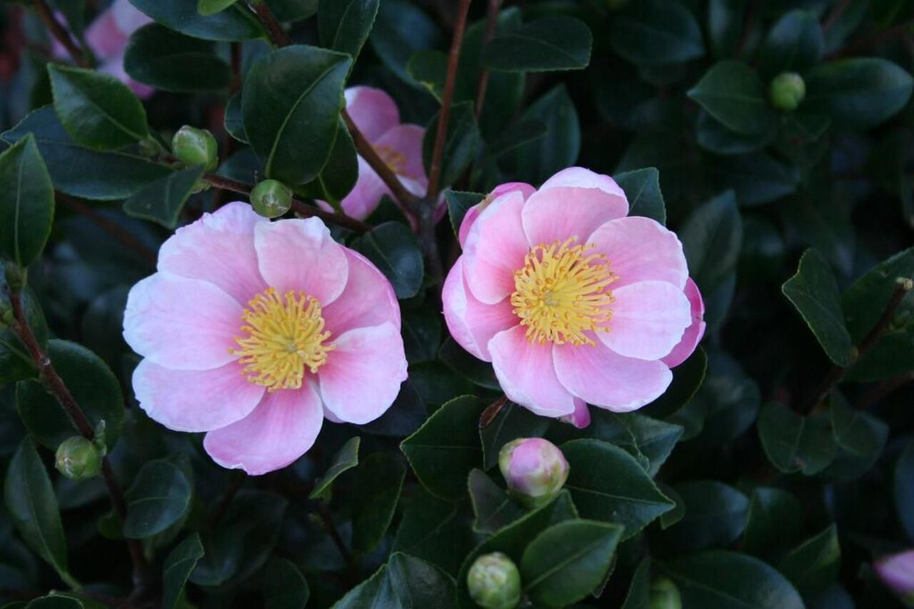 Camellia sasanqua 'Pink-A-Boo' is a sport of the popular red 'Yuletide.' Its deep-pink blooms are highly fragrant.