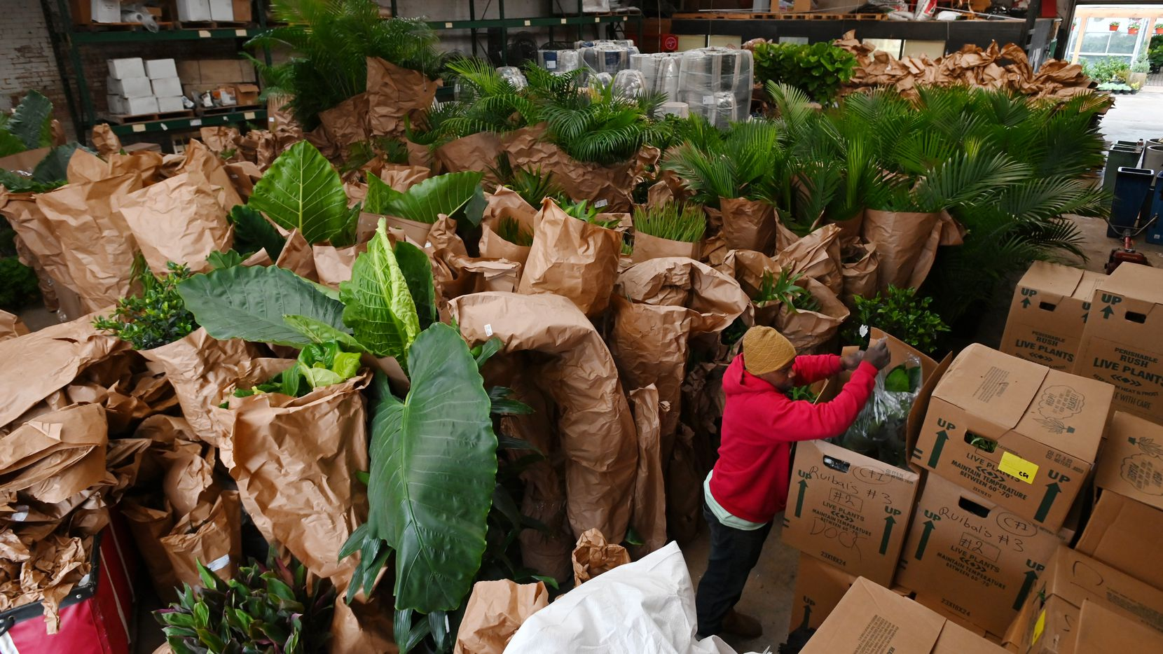 Worker Rodrick Jones, bottom right, unboxes tropical plants as Ruibal's Plants of Texas received a large shipment of inventory from Florida on Monday afternoon.