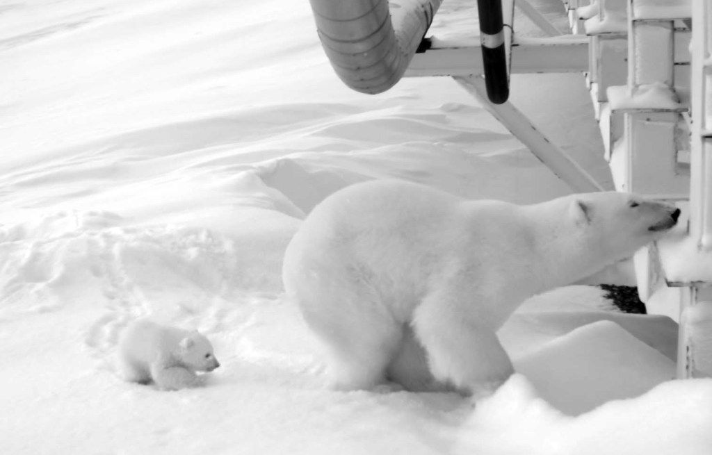 In 2017, Hilcorp oil field workers spotted a polar bear den and helped restrict activity around it to make sure the female was not disturbed. The den was built alongside a causeway bridge leading to an artificial island oil production platform in the Beaufort Sea in Alaska. When the mother and her cub emerged in March, they stayed in the den for two weeks then moved on.