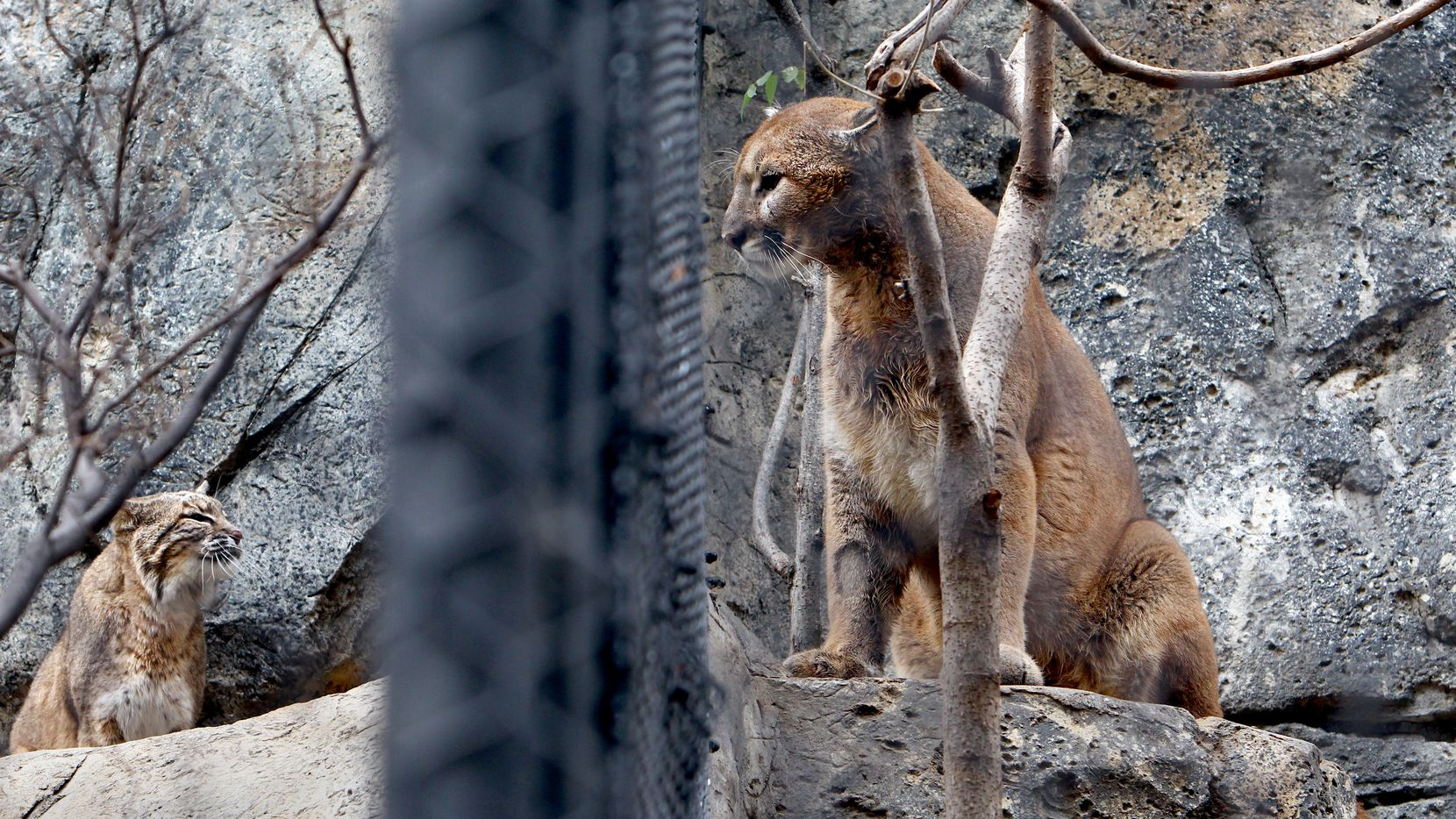 A mountain lion, right, and its next-door bobcat neighbor stare at each other in this 2010 file photo at the Dallas Zoo.