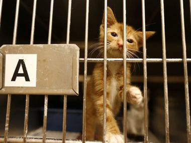 In this July 2016 file photo, a sick kitten is shown inside the Cat Isolation room at the Mesquite Animal Shelter.