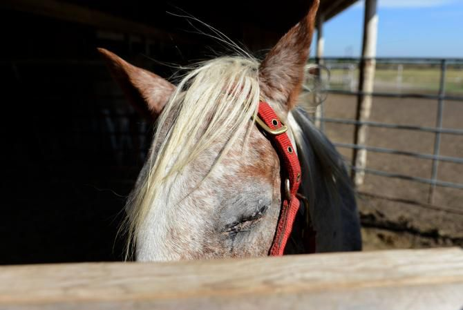 A rescue horse at Becky's Hope Horse Rescue in Frisco