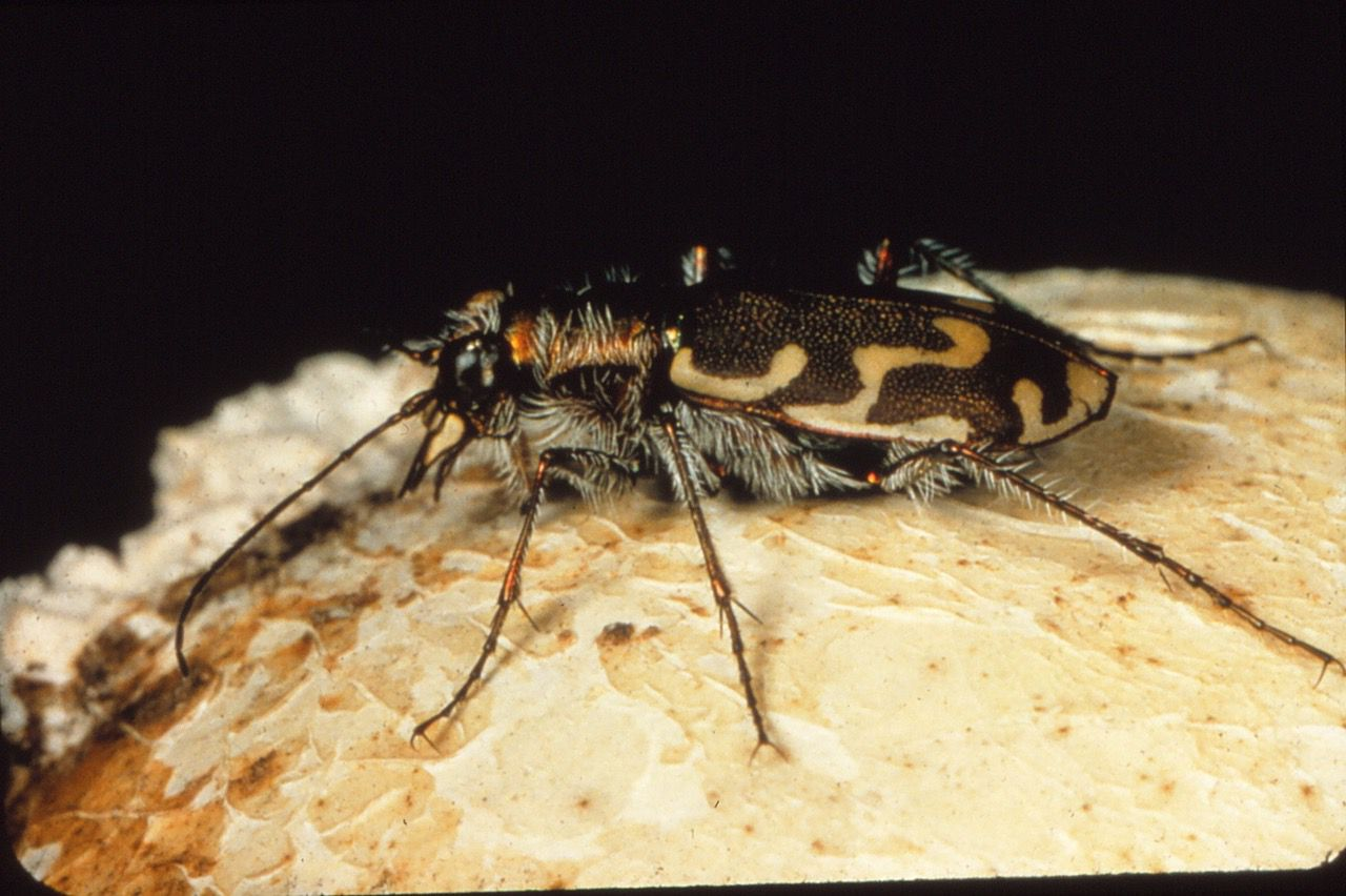 Tiger beetle adults and larvae eat many plant-eating insects, with ants being a favorite meal.