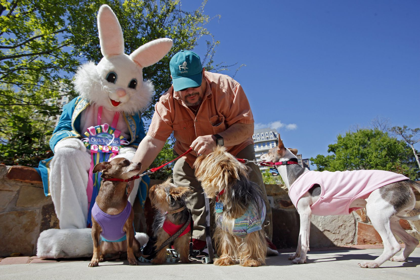 Tom Emanuele, 63, of Dallas, prepares his Chihuahua mix dogs and Silky Terriers for a photo with the Easter Bunny during the Easter at the Park.
