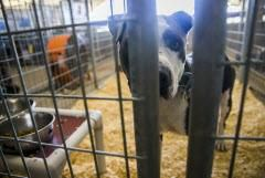 Spike mira desde el interior de su refugio en el estacionamiento de la antigua Reunion Arena. Todas las mascotas de este lugar pertenecen a refugiados alojados en el Kay Bailey Hutchison Convention Center. ASHLEY LANDIS/DMN