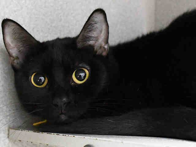 Starry, a cat available for adoption in Dallas