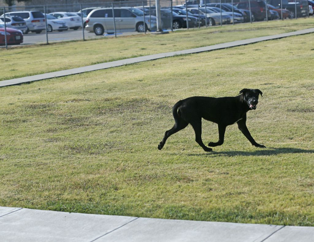 A stray dog runs from a Dallas Animal Services van in front of a southern Dallas elementary school.