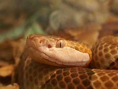 La serpiente cabeza de cobre es una de las más comunes en el Norte de Texas.