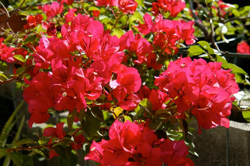 Bougainvilleas are tolerant of cramped roots and less-than-perfect conditions.