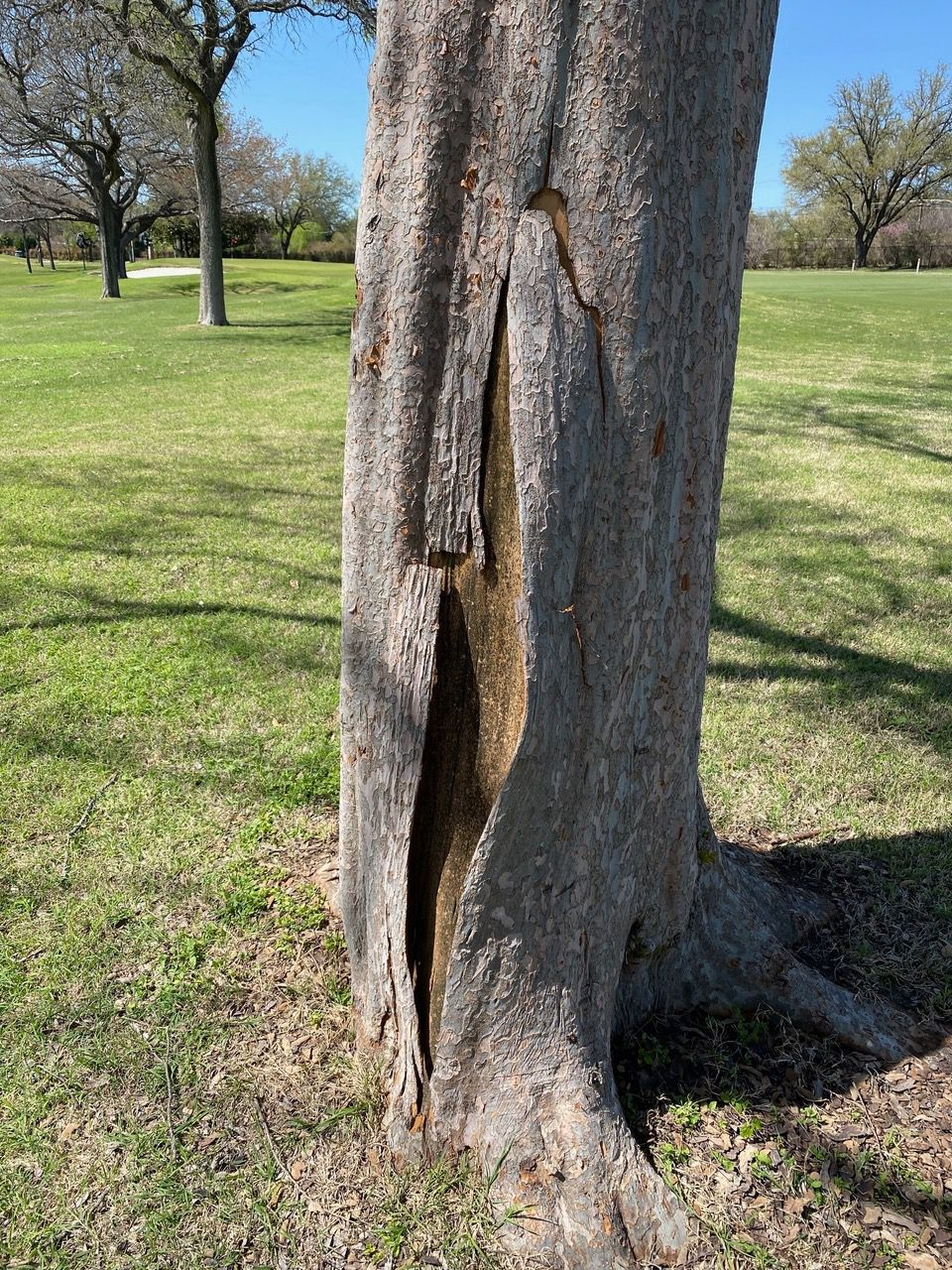 The freeze killed this lacebark elm tree. Lacebark elms aren't sturdy enough for North Texas, so don't bother replanting them.