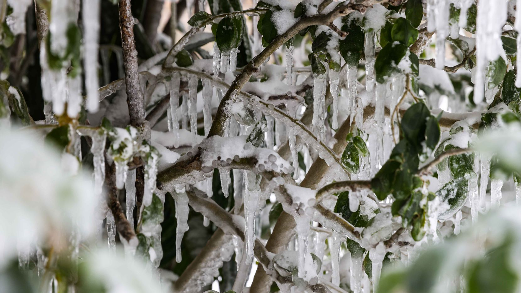 Shrubbery around the city was covered in ice as a winter storm brings snow and freezing temperatures to North Texas on Monday, February 15, 2021, in Dallas.