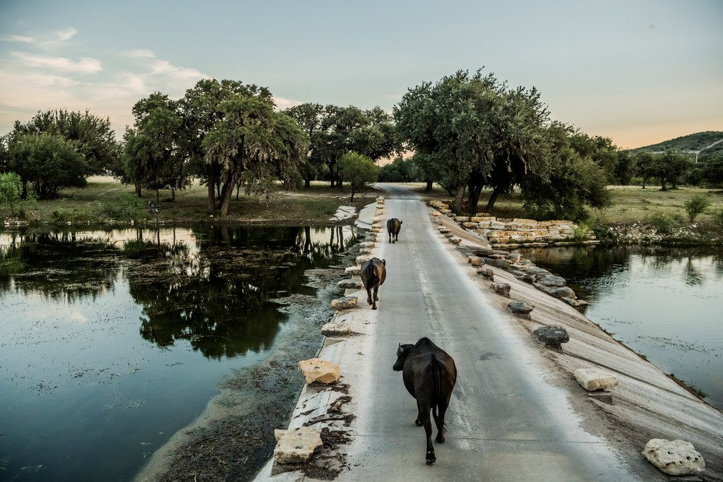 Zebu from South Asia walk across a dam at the Ox Ranch in Uvalde, Texas, Aug. 17, 2017.