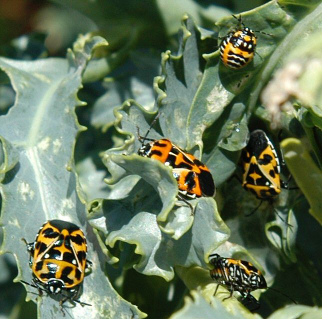 Harlequin bugs (adults and a nymph are pictured) almost exclusively attack plants that are stressed, usually from being out of season.