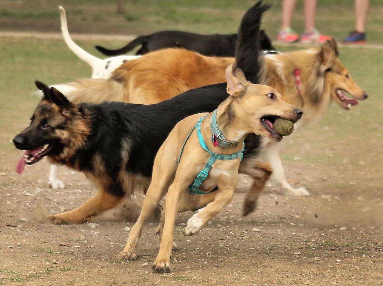 A brisk competition in a game of fetch breaks out at White Rock Lake dog park in Dallas, photographed on Saturday, April 1, 2017.