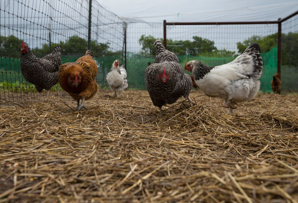Chickens feed in a coop at Eden Hill Vineyard & Winery in Celina.