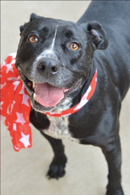 Sammy is a 6-year-old female Staffordshire Bull Terrier mix.