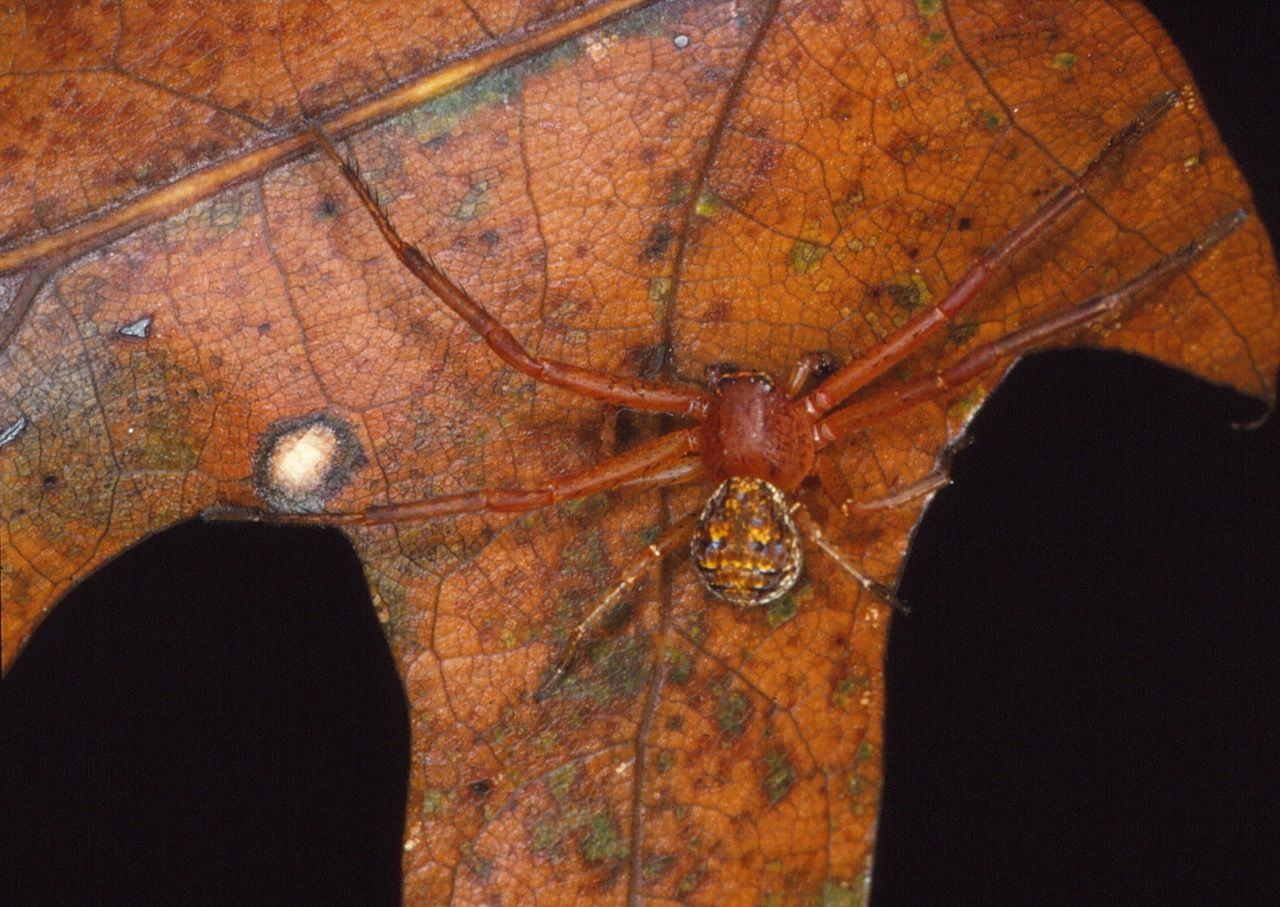 A beneficial crab spider sits on fall foliage.
