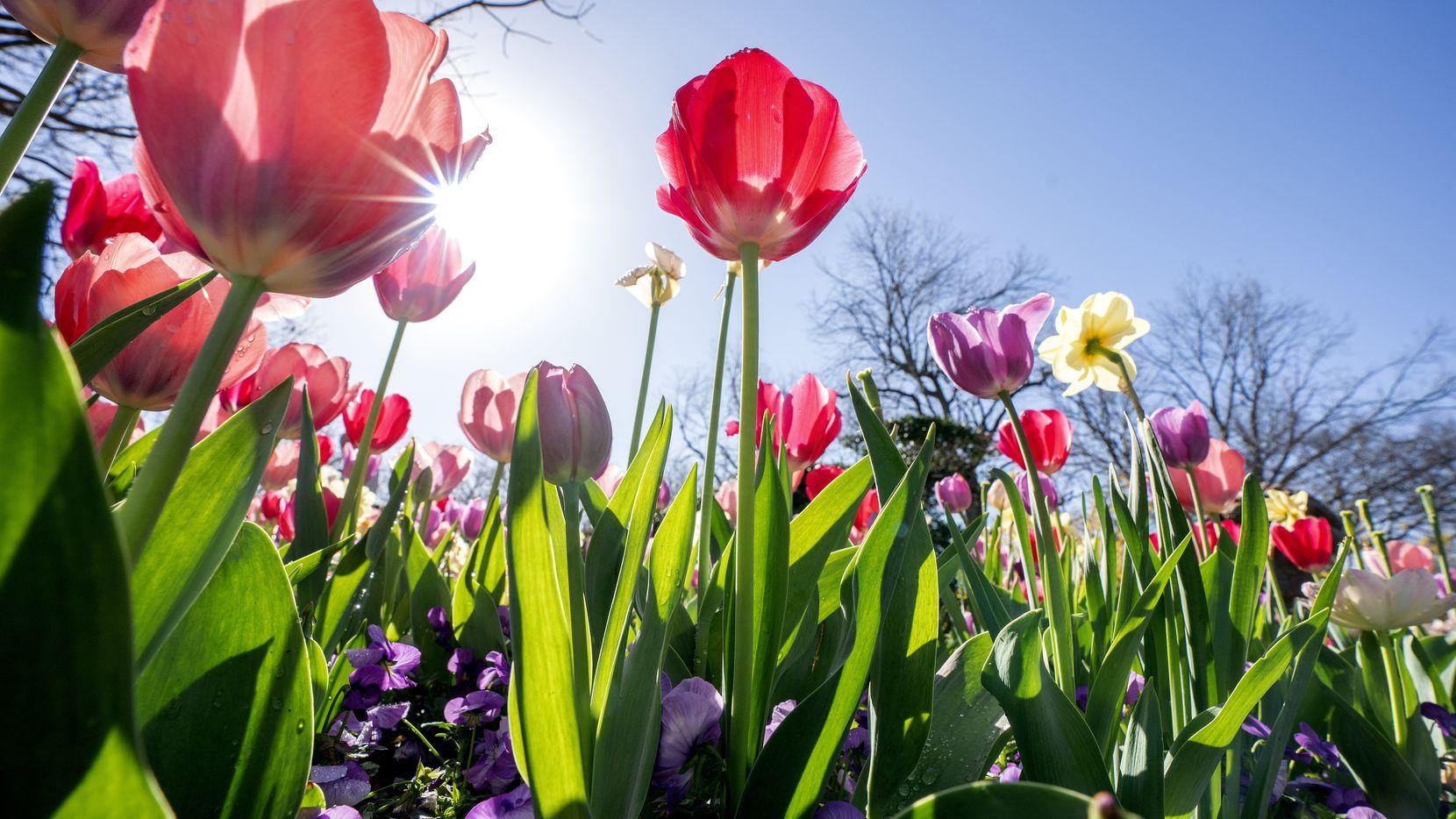 """Las flores de primavera están en su apogeo en el Arboretum durante la exposición """"Dallas Blooms""""."""