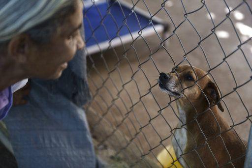 En esta imagen del 15 de diciembre de 2017, un perro rescatado mira a través de una valla a Carmen Cintrón, fundadora del Canita Sanctuary, donde se protege de la eutanasia a perros y gatos abandonados, en Guayama, Puerto Rico. (AP Foto/Carlos Giusti)