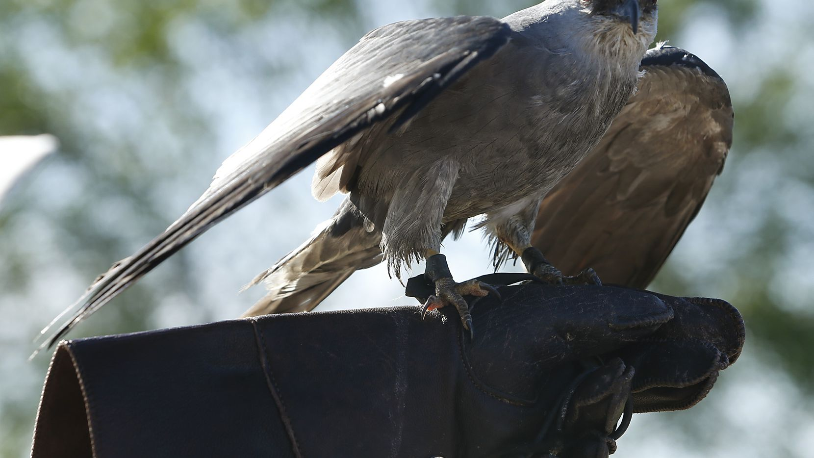 A Mississippi kite is pictured in this file photo. A Southlake neighborhood is being targeted by a pair of similar birds likely protecting their nest.