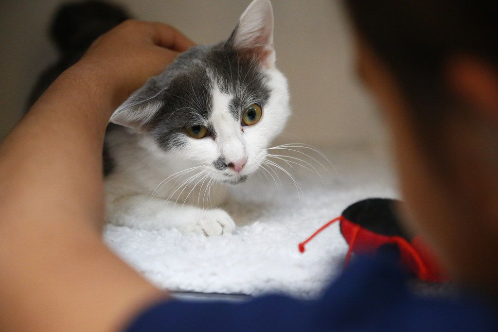 Sophia Villalba, 11, pets Baby the cat that she adopts on her birthday at Operation Kindness in Carrollton, Texas on Sept. 13, 2017.   State Rep. Jason Villalba's daughter, Sophia, has been advocating for adopting a cat. She has written letters to her parents, laying out her arguments and assuring them she will take care of one.  (Nathan Hunsinger/The Dallas Morning News)