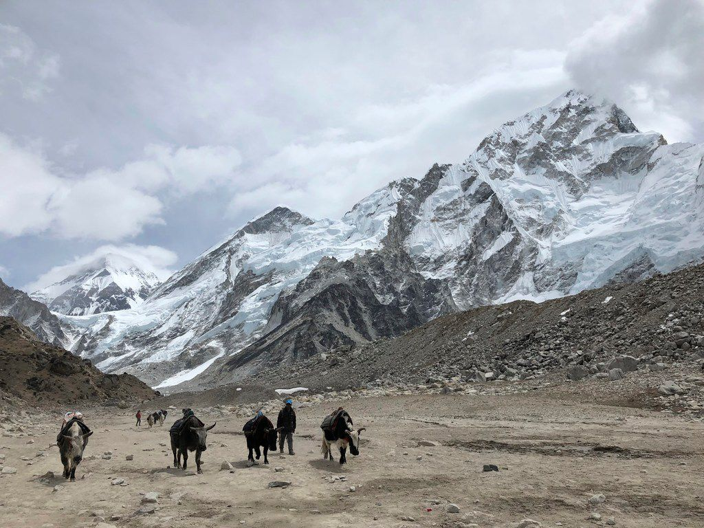 A herd of dzo (a yak/cattle hybrid) walk along the trail to Everest Base Camp in Nepal.