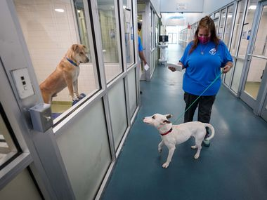 Animal care technician Brigitte Beddow leads Oakley past other kennels as she delivers the newly adopted dog for curbside pet pickup at Dallas Animal Services on July 29. DAS will join other North Texas shelters for the annual Clear the Shelter adoption event, which will run the entire month of August.