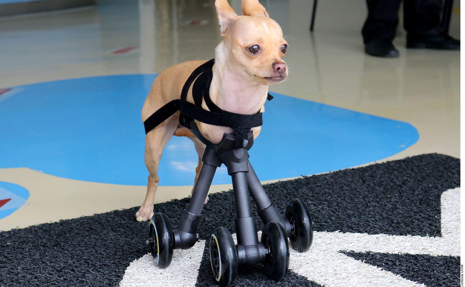Guzzi es una perrita chihuahua de 1 año.