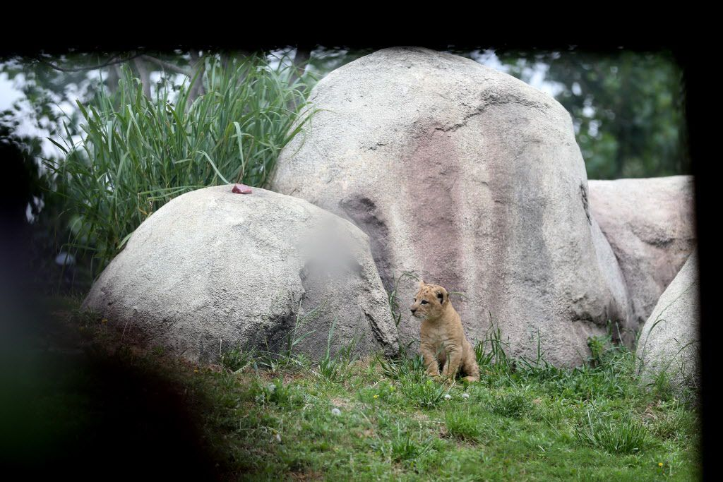 Bahati, a lion cub, made her public debut at the Dallas Zoo in Dallas Friday May 19, 2017. The cub was joined by her mother Lina and aunt Jasiri. Bahati is the first lion cub born at the zoo in 43 years. She was born weighting nearly 3 pounds on March 17 and she is now 13 pounds.