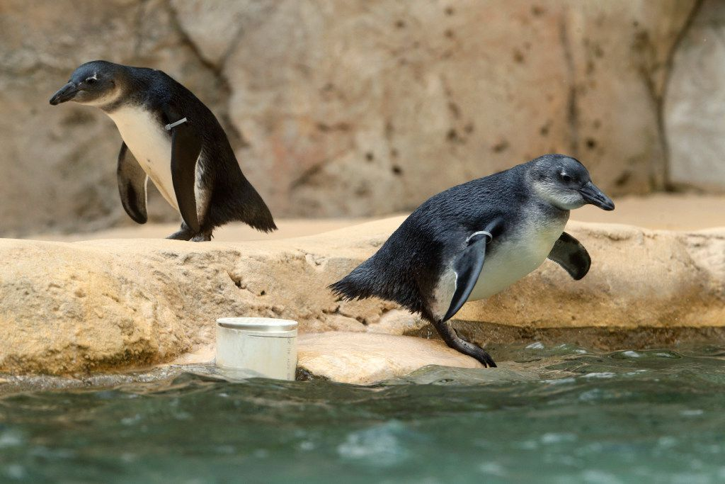Though the Dallas Zoo's Penguin Days deal is named in their honor, the promotion isn't just about this flightless flock.