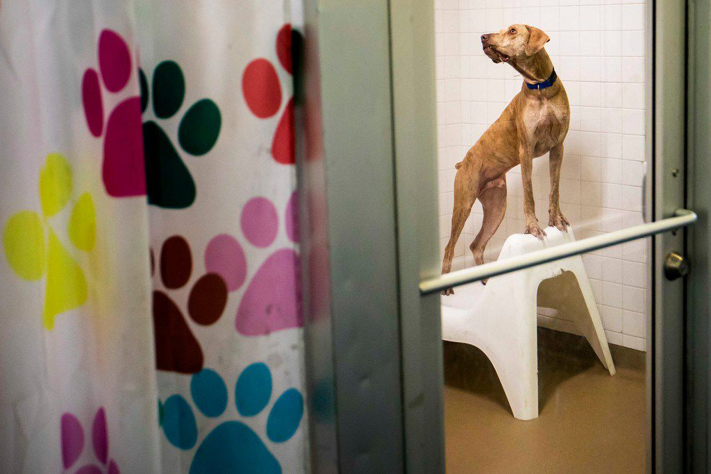 A dog named Jason looks out from his kennel while awaiting adoption at the Dallas Animal Services & Adoption Center on Monday, June 11, 2018, in Dallas.