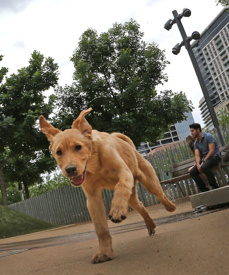 There is plenty of room for smaller dogs to play at the Klyde Warren dog park in downtown Dallas, photographed on Saturday, April 1, 2017.