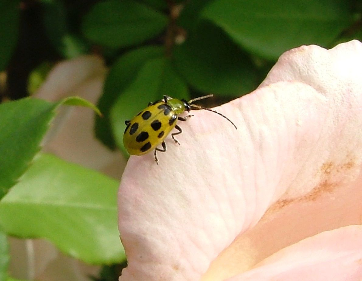 Stubborn pests like spotted cucumber beetles can be killed with nontoxic products like spinosad, essential oil products and orange oil.