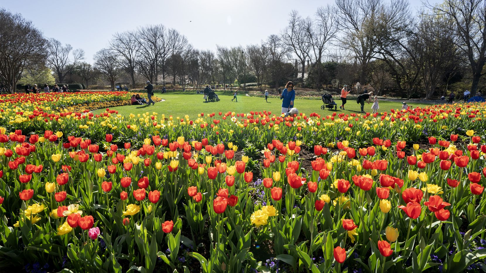 Visitors at the Dallas Arboretum walk among tulip blossoms in March during the Dallas Blooms festival.