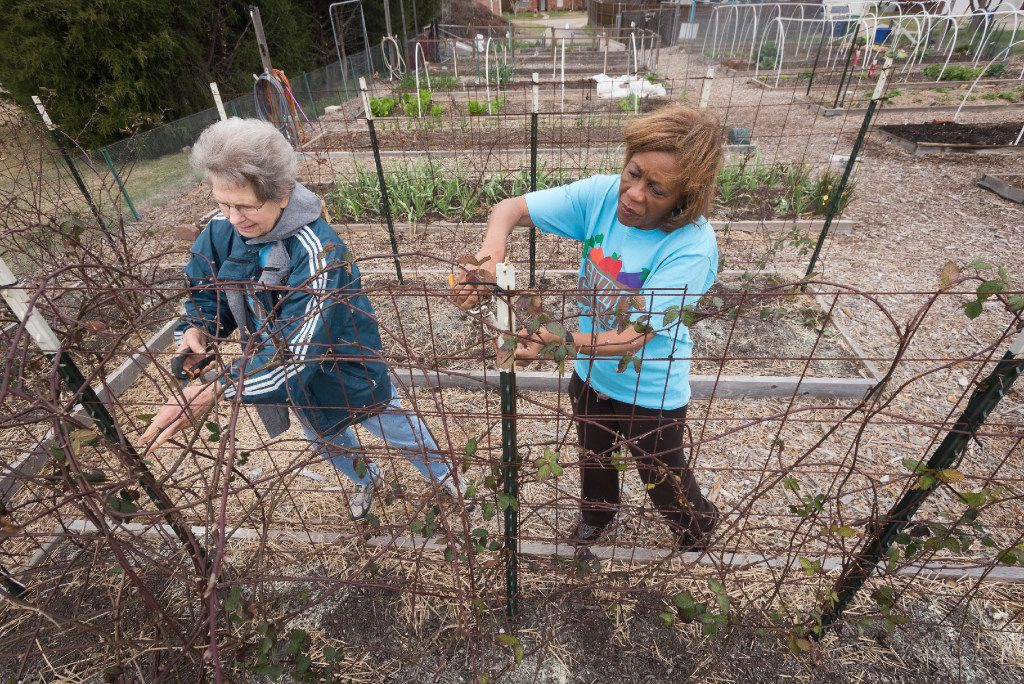 Carolyn Rice, left, and Angela Glover cut thorns off of blackberry vines at The Giving Garden of Carrollton on Saturday, March 3, 2017