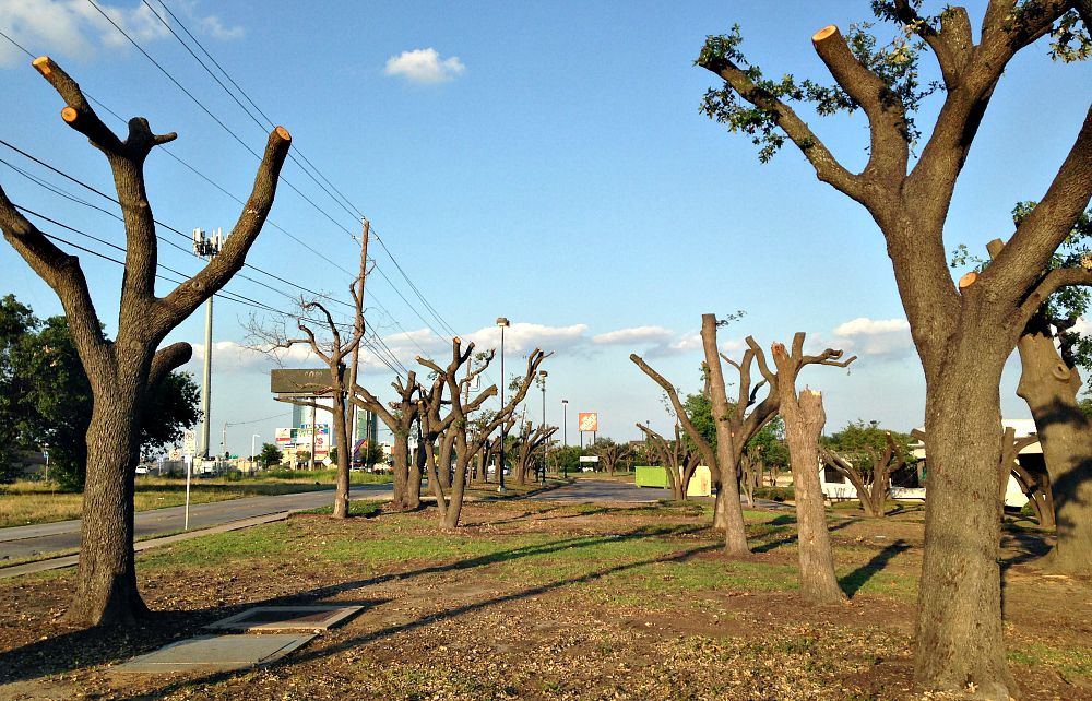 A look at what's left of the live oaks along Forest Lane near Josey in northwest Dallas.