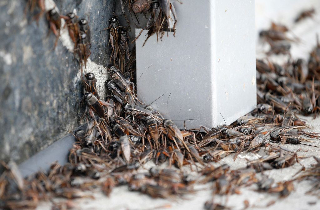 Crickets crowd together in front of a building in downtown Dallas.