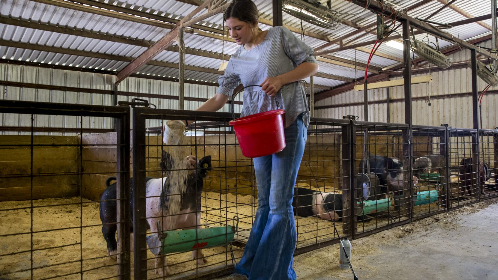 Savannah Robison feeds her show pigs at the Lake Dallas FFA Ag Barn in Denton, on July 19,. Robison is one of the youth who is preparing to compete in the State Fair's modified youth livestock shows this year.