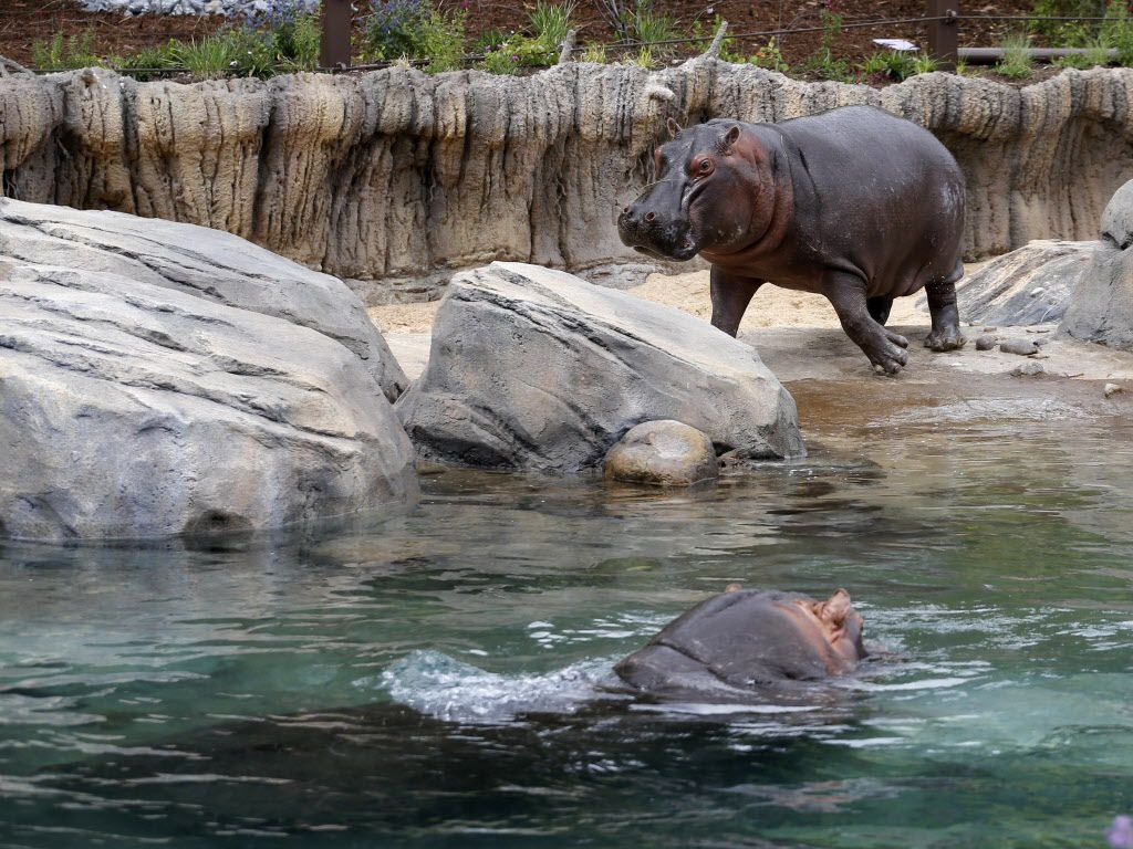 Boipelo runs towards the water to join Adhama during the grand opening of the Dallas Zoo's hippo exhibit in Dallas on Friday, April 28, 2017. Adhama (male) and Boipelo (female) are the two hippos in the exhibit. This is the first time the zoo has had hippos since 2001 when the last one died. (Vernon Bryant/The Dallas Morning News)