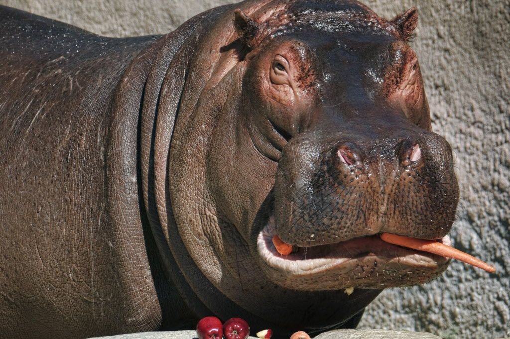 Adhama, snacks on a carrot in his enclosure at the Los Angeles Zoo on Thursday, March 9, 2017. Visitors to the zoo are getting their last glimpses of the popular male hippopotamus before he's moved to Texas in the hopes of continuing his genetic line. Zookeepers said Thursday that Adhama will make the trip later this month to a permanent home in a new two-acre enclosure at the Dallas Zoo. (AP Photo/Richard Vogel)