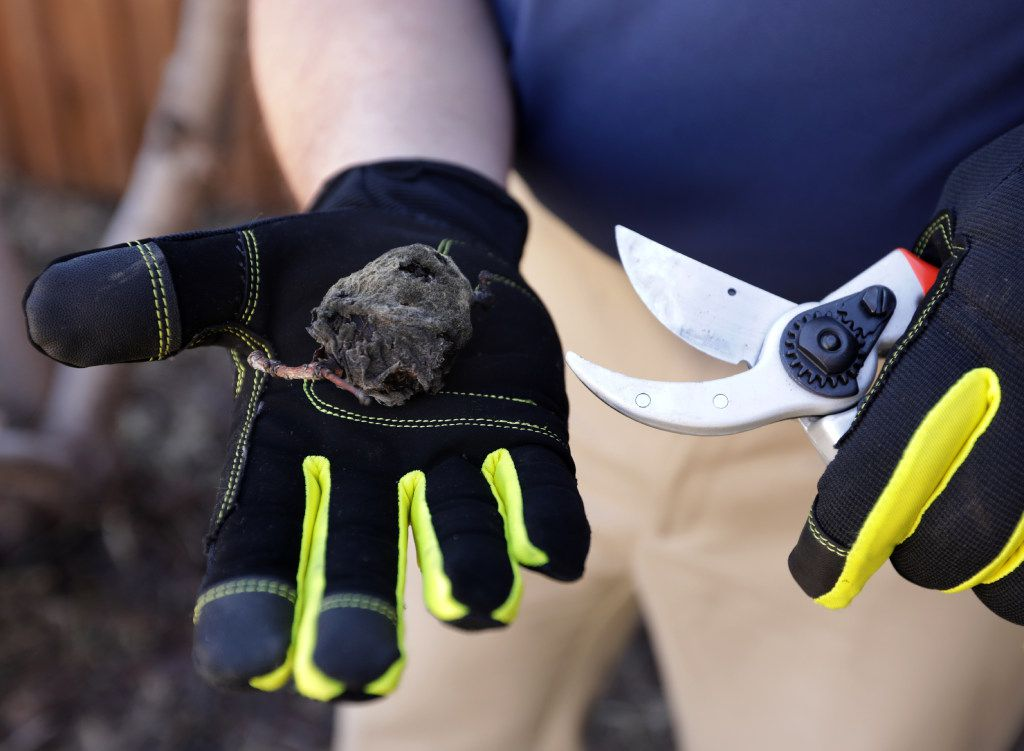 A certified arborist, Cox prunes a rotten peach from a tree in Frisco. (Jason Janik/Special Contributor)