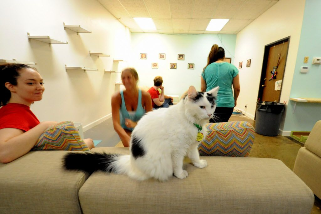 Hotwings perches on the couch at Cat Connection featuring adoptable cats from Operation Kindness in Dallas, TX on August 8, 2015.