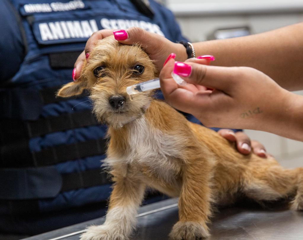 Un perro callejero recibe vacunas de partes de Dallas Animal Services, durante una revisión médica. LYNDA GONZÁLEZ/DMN