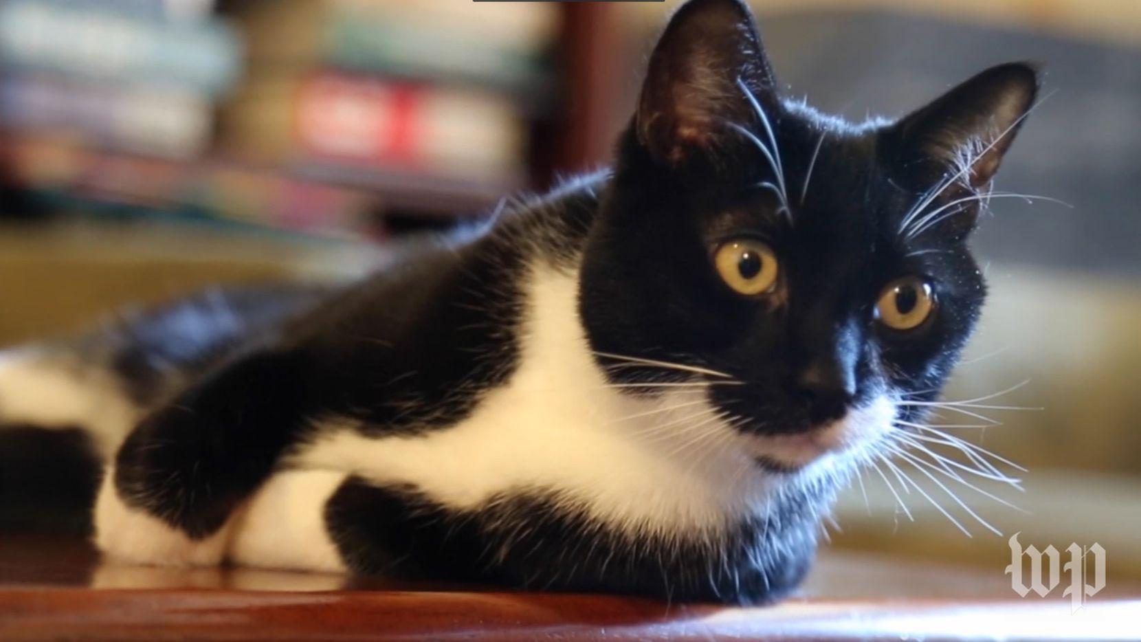 Meow Talk, creda por Akvelon, es una app que supuestamente explica qué quiere decir cada maullido.