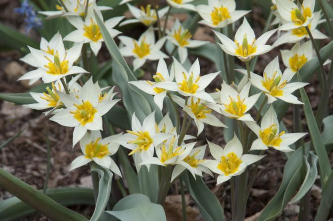 Tulipa turkestanica is a multi-flowering tulip that produces four to eight small white flowers per stem. This golden-eyed wildflower is particularly appealing in mass plantings where its sweet fragrance can be enjoyed. 8 inches tall, blooms early to mid-spring. Native to Turkestan.