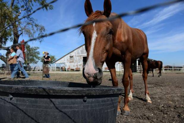Khaleesi, a rescue horse, drinks water from a trough Sept. 23 at Becky's Hope Horse Rescue in Frisco.