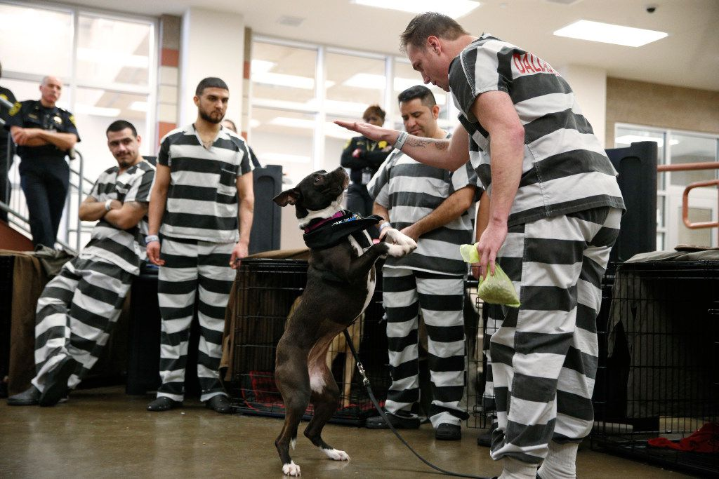 Dallas County inmate Joseph Firth works with his dog Skittles for during a demonstration of the program at Kays Tower Jail in Dallas on March 29, 2017. (Nathan Hunsinger/The Dallas Morning News)